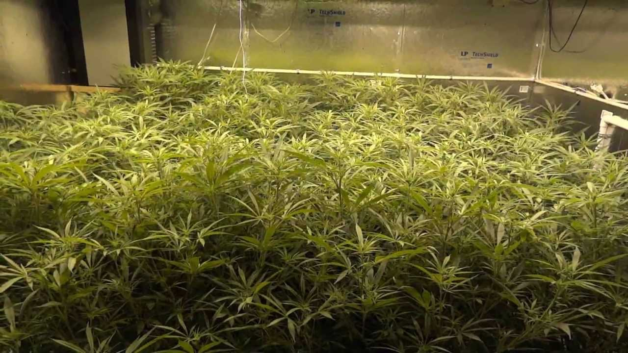 Blue dream growing instructions